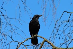 crow-284492_1280