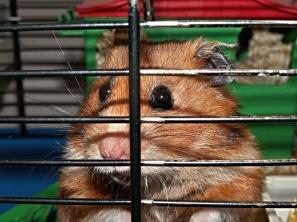 hamster-113069_1280